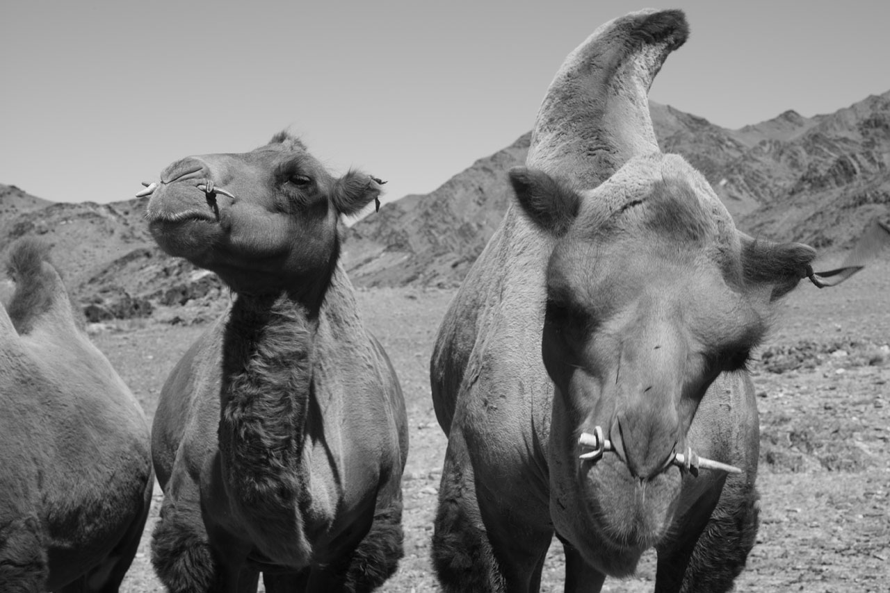 Mongolian Camels